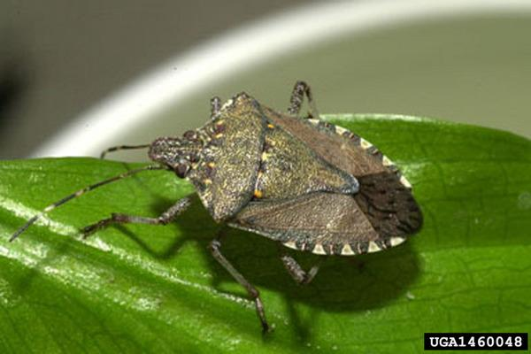 Stink Bug Invasion Promises Foul Fall