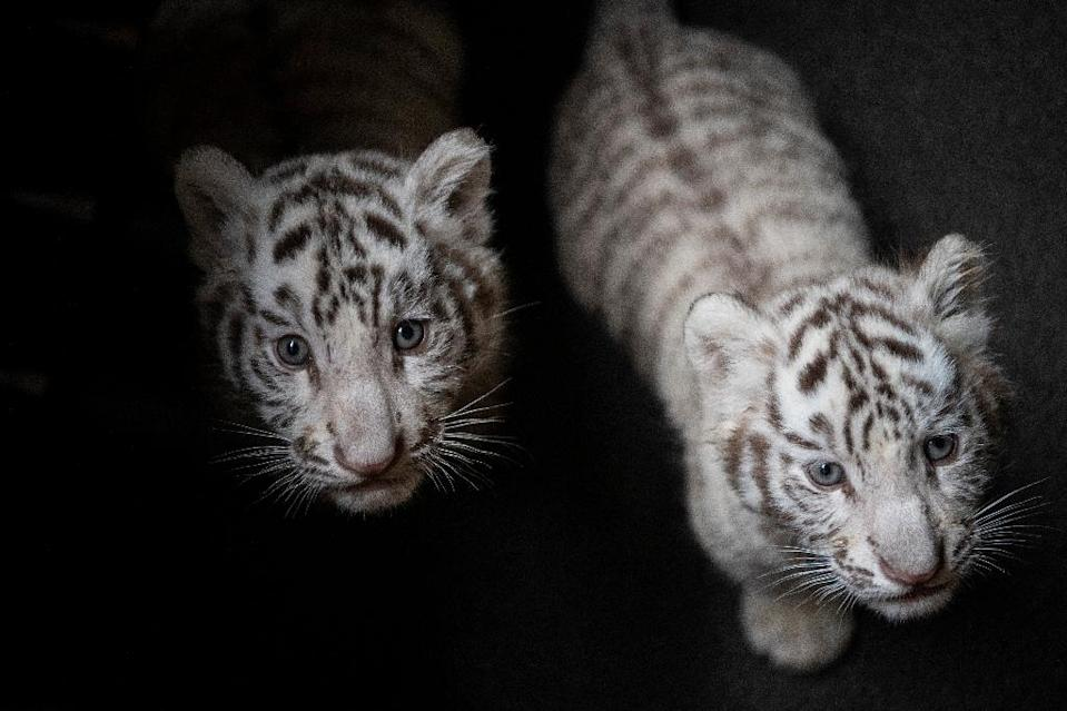 The blue-eyed rare triplet cubs were born nearly three months ago at the Yunnan Wildlife Zoo (AFP Photo/FRED DUFOUR)