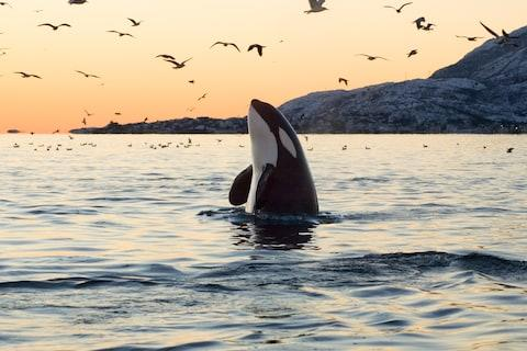 Despite the name, killer whales belong to the oceanic dolphin family - Credit: istock