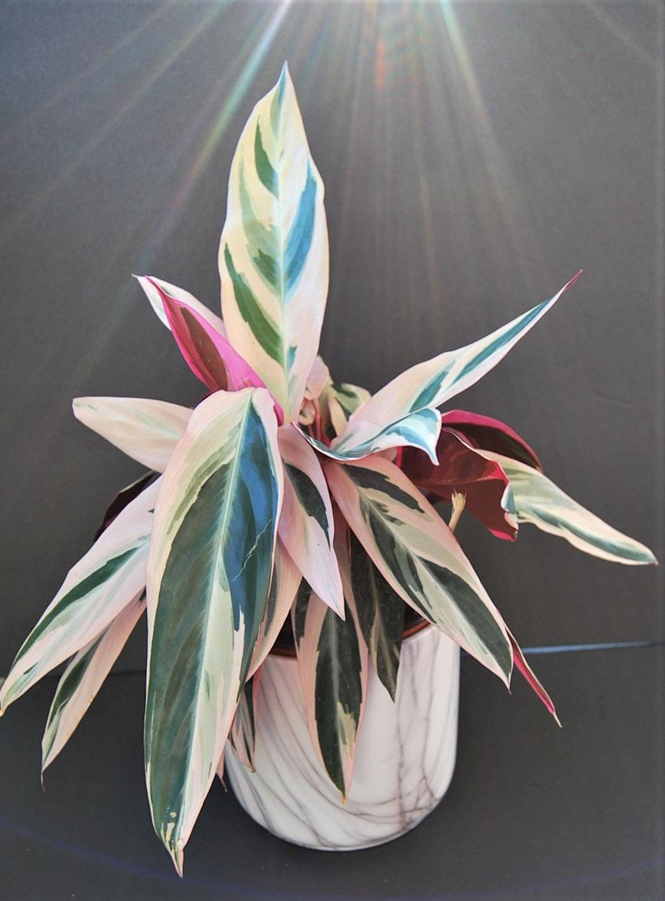 <p>The varying colors on the <span>Stromanthe Sanguinea Tricolor</span> ($23, originally $29) are breathtaking, especially in neutral spaces. </p>