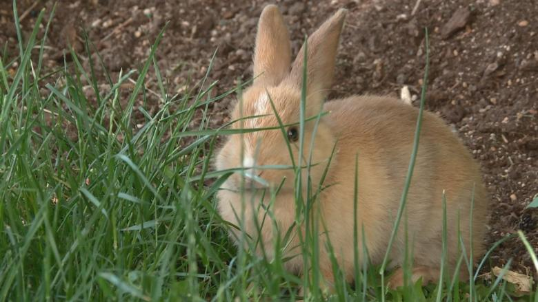 Richmond rabbit shelter at max capacity as problem bunnies run amok