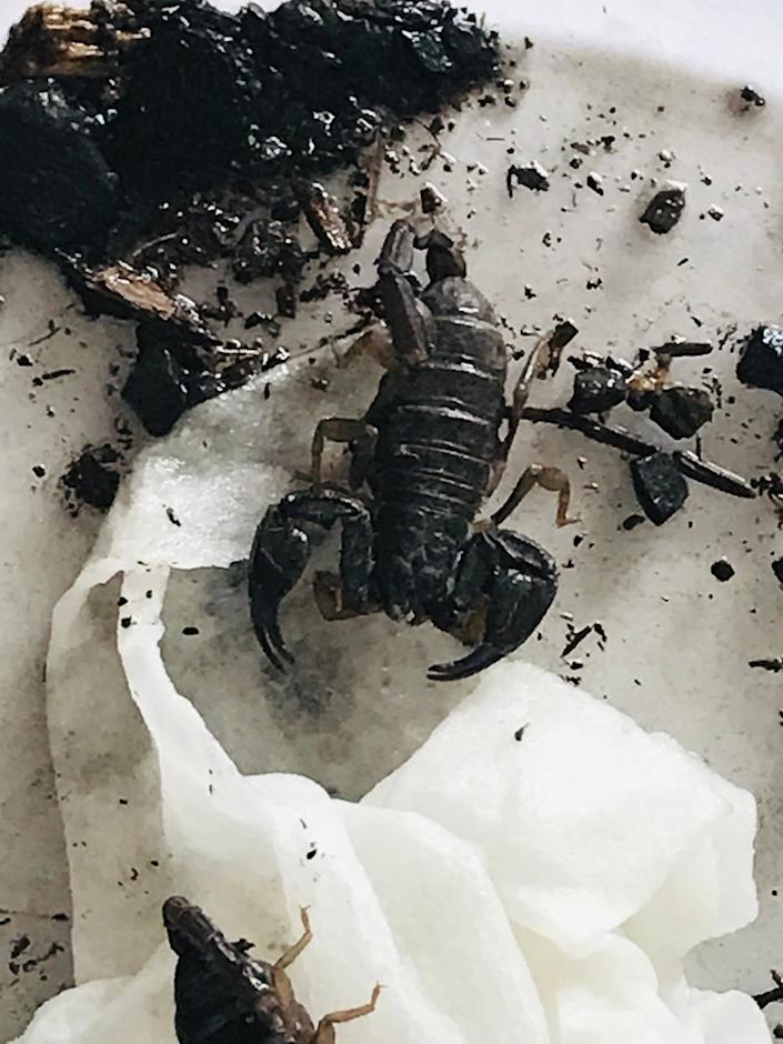 These scorpions were found in a Red Vines container at a park in Keizer, Ore.