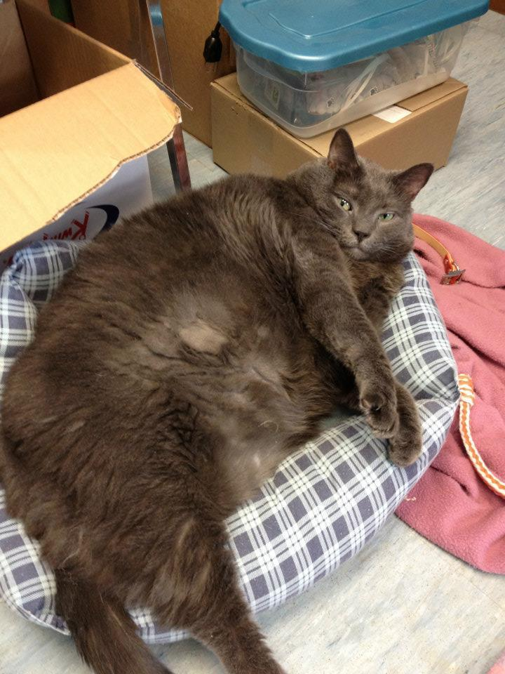 """<div class=""""caption-credit""""> Photo by: Fredericton SPCA / Facebook</div><div class=""""caption-title""""></div>A fat cat looks cuddly and hilarious -- but unfortunately, these stories often end sadly, with morbidly obese cats developing untreatable complications thanks to their high weights (like orange tabby <a rel=""""nofollow"""" target=""""_blank"""" href=""""http://abcn.ws/OdBWFi"""">Meow</a>, who passed away earlier this year). Were FSPCAers concerned that Tiny would meet the same fate? <br> <br> Not really. """"The condition of his coat wasn't great,"""" Haggerty notes, because he was just too large to bathe himself properly, """"and he did seem depressed and lacking energy."""" (We would be too if we'd been rehomed in a wine box.) But a trip to a veterinarian and some tests ruled out both underlying conditions <i>causing</i> the weight gain and underlying conditions caused <i>by</i> it. """"He seemed other than the weight to be quite healthy,"""" Haggerty says, """"which we were really happy about."""" <br>"""