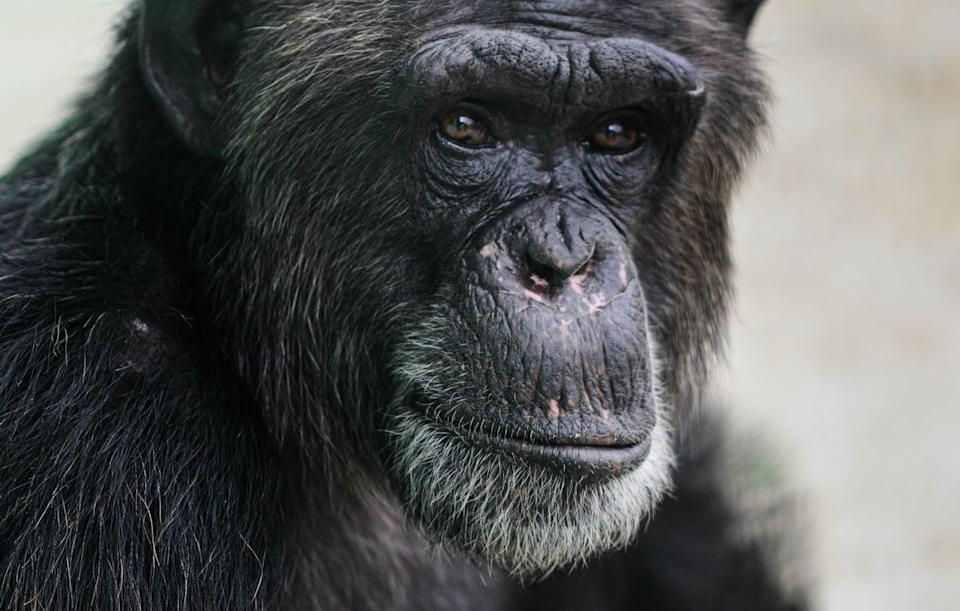 """<span class=""""caption"""">Larry, a chimp formerly used in medical research, now resides at the Save the Chimps sanctuary which offers painting as an enrichment activity. </span> <span class=""""attribution""""><span class=""""source"""">(Jo-Anne McArthur/We Animals Media)</span></span>"""