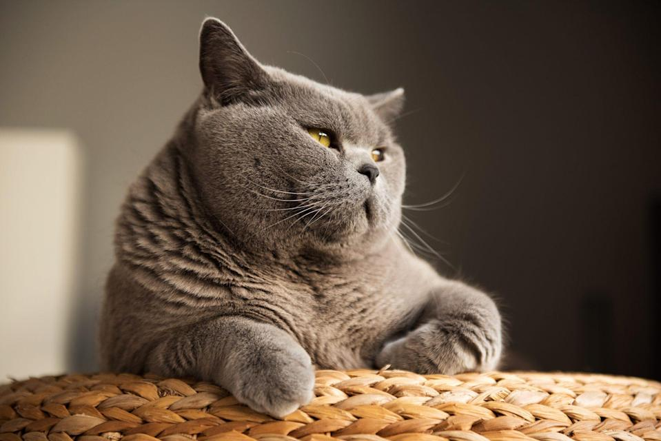 "<p>If your idea of a good time is curling up on the couch with a good book, then look no further than the <a href=""https://cfa.org/british-shorthair/"" rel=""nofollow noopener"" target=""_blank"" data-ylk=""slk:British Shorthair"" class=""link rapid-noclick-resp"">British Shorthair</a>. These cats will be just as delighted as you will be when you sit down to pet their plush hairdo. ""They have the densest coat of any of our breeds,"" says Keigel. British Shorthairs are quiet and usually go with the flow. They don't demand much attention or playtime but don't be surprised if you find them following you around the house. </p>"