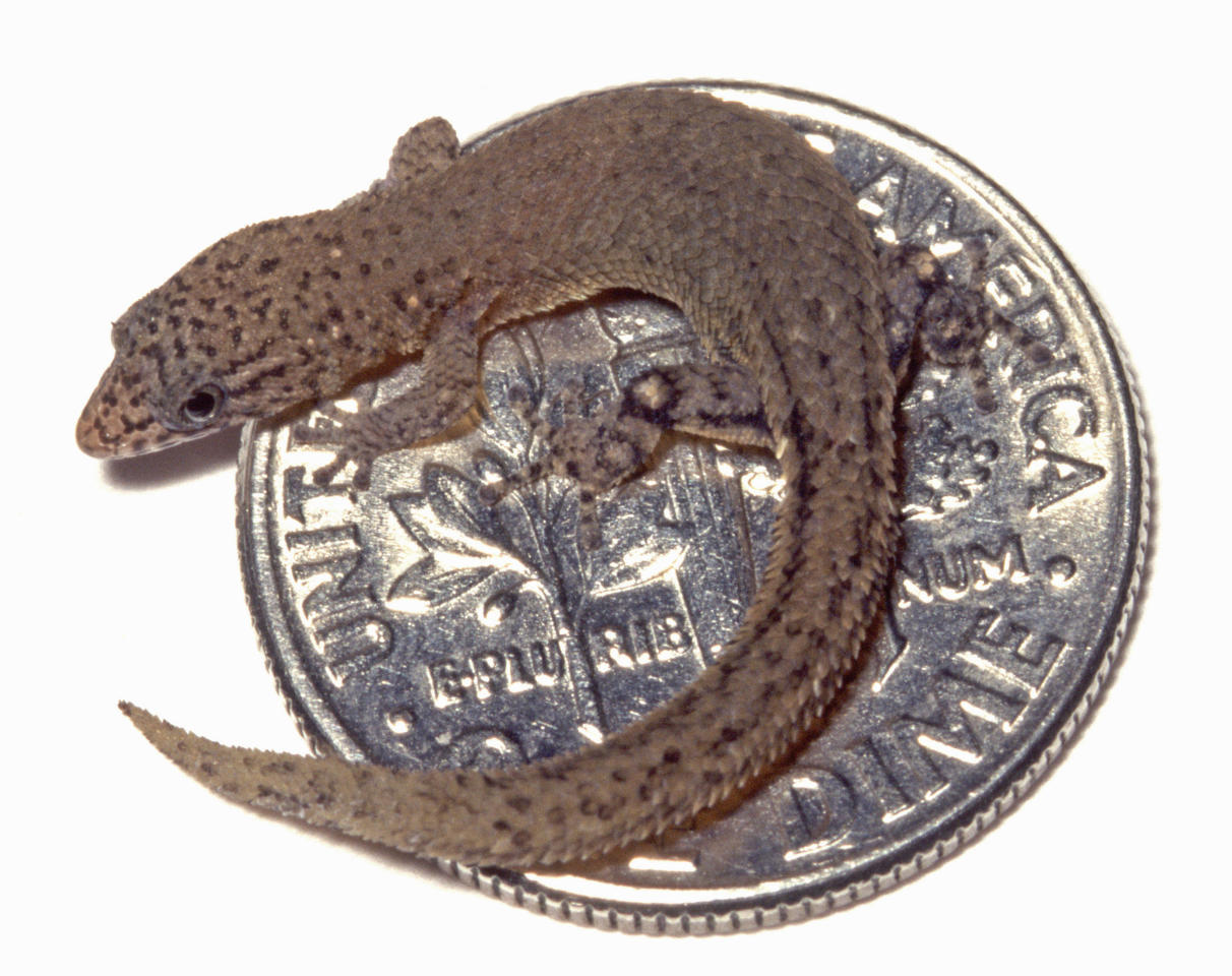 "This undated photo provided by Penn State University Prof. Blair Hedges shows a Caribbean gecko, Sphaerodactylus ariasae, one of the two smallest reptile species known to exist, curled up on a dime. Found in the Dominican Republic, the gecko is about 16 mm, and is also the smallest amniote vertebrate of 25,000 species (includes birds, mammals, and reptiles). Hedges described ""I found it with a colleague, while crawling on my hands and knees among dead leaves, anticipating a small lizard, but that not that small!"" He said. (AP Photo/Penn State University, Blair Hedges)"