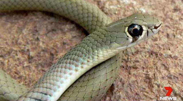 The snake was identified as a yellow-faced whip snake. Source: 7 News