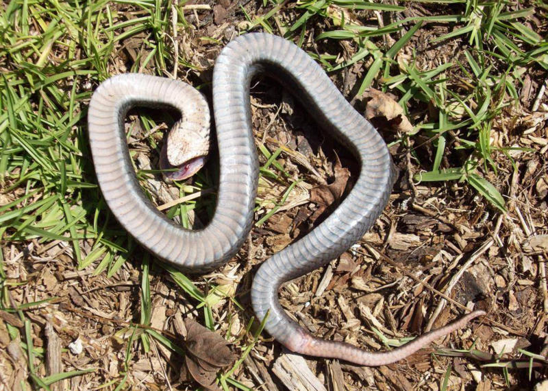 """An eastern hognose """"zombie snake"""" lies on its back with its mouth open, pretending to be dead to ward off predators."""