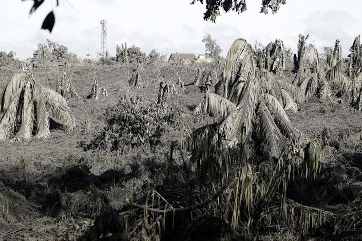 Trees covered with falling ash from the volcano   Aaron Favila/AP/Shutterstock