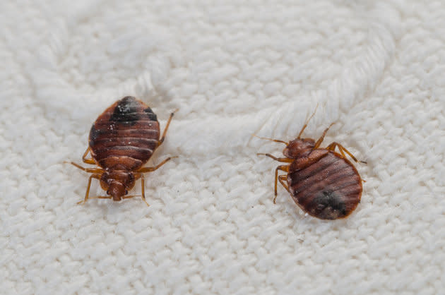 Bedbugs – or Cimex lectularius – an haematophagous species in progression worldwide attacking people in their beds at night (file photo).