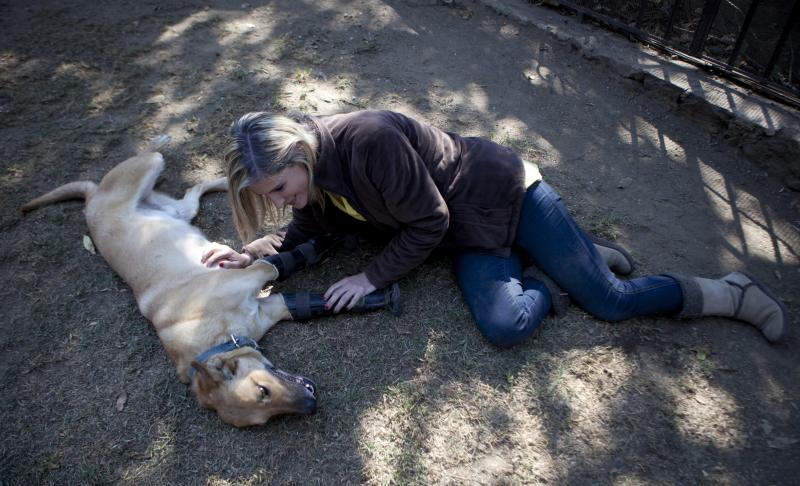 """""""Milagros Caninos,"""" sanctuary owner Patricia Ruiz shows some attention to Belgian shepherd mix, Pay de Limon or Lemon Pie, on the grounds of the sanctuary for abused and abandoned dogs, in Mexico City, Friday, Jan. 11, 2013.  Ruiz says Pay de Limon who was fitted with prosthetic front legs, was found last February in a trash can where he was left to die after his two fronts legs were surgically removed. Pay de Limon is one of 128 abused dogs living in the vast Milagros Caninos sanctuary in southern Mexico City. (AP Photo/Eduardo Verdugo)"""