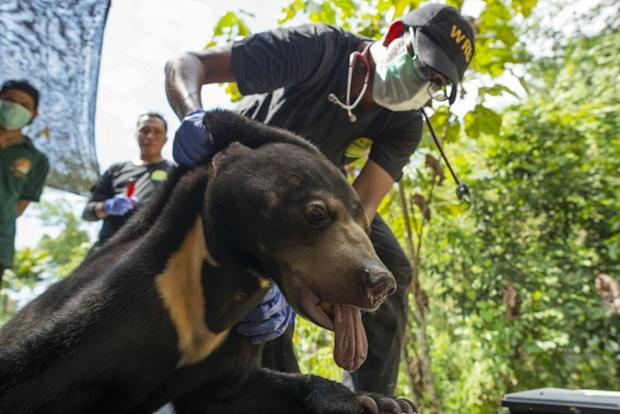 The endangered Sun bears are also susceptible to be kept as pets due to their cuteness and are also hunted for their body parts. ― Picture courtesy of Scubazoo
