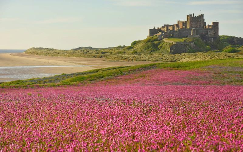 A meadow of Campion wild flowers under the impressive backdrop of Bamburgh Castle of the north east coast of England - © North News & Pictures ltd