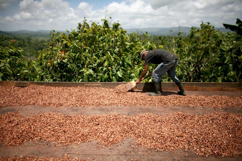 In this May 22, 2012 photo, a worker shovels cocao beans, the raw material in chocolate, as they dry in the sun in San Francisco de Macoris, Dominican Republic. Conservationists are establishing a sanctuary here that they say will be like no other in the Dominican Republic, blending sustainable agriculture with preservation on former pasture land at the edge of a cloud forest that will help protect a songbird called Bicknell's thrush which migrates each year from the northeastern U.S. and southern Canada. (AP Photo/Ricardo Arduengo)
