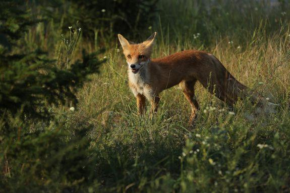 A fox stands in the Chernobyl Exclusion Zone in 2017.