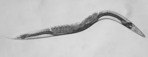 """<span class=""""caption"""">Scientists have recreated the mutant gene that causes a rare cancer called phaeochromocytoma in a millimetre-sized worm.</span> <span class=""""attribution""""><span class=""""source"""">University of Dundee</span>, <span class=""""license"""">Author provided</span></span>"""