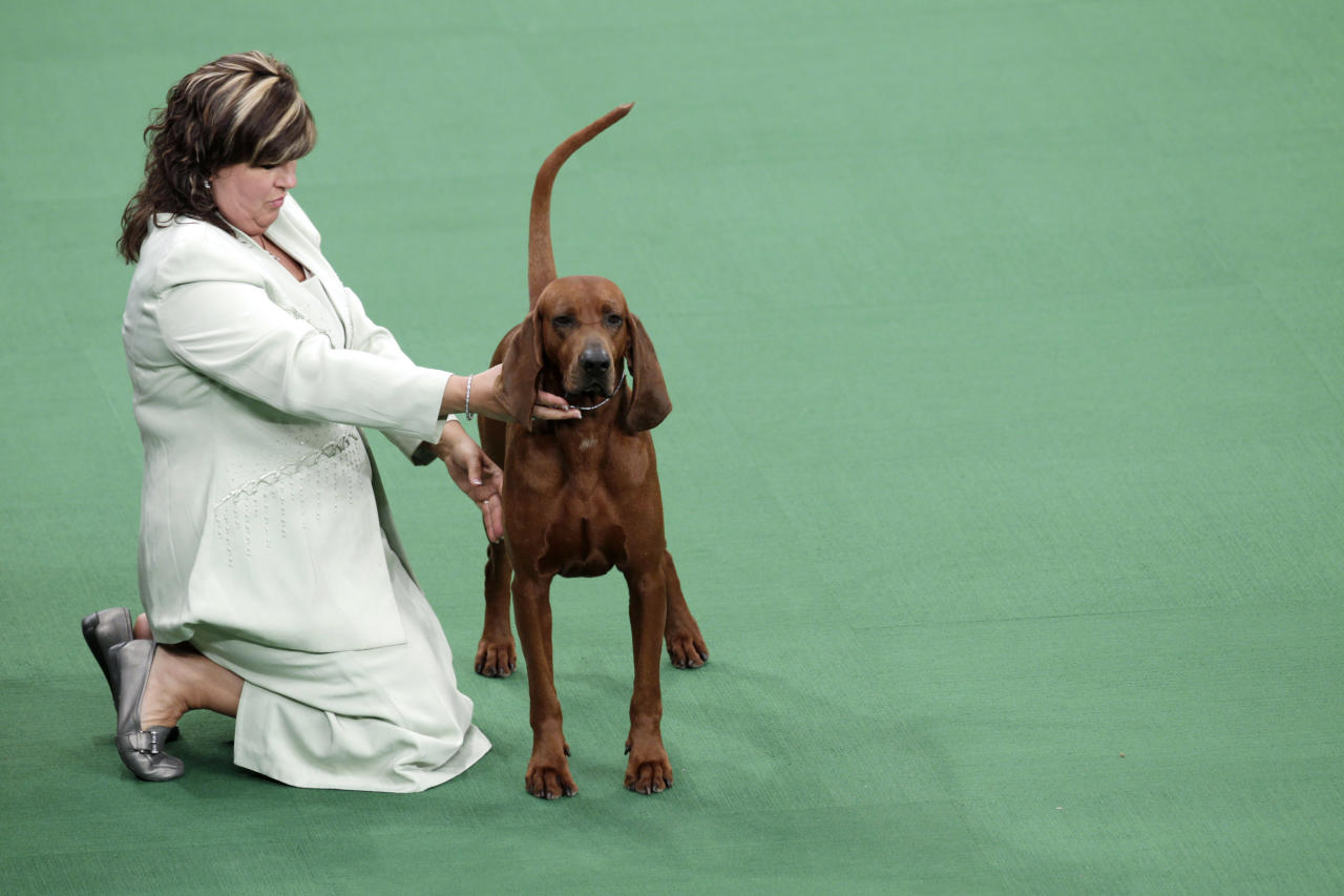 A redbone coonhound is judged as part of the hound group at the 136th annual Westminster Kennel Club dog show in New York, Monday, Feb. 13, 2012. (AP Photo/Seth Wenig)
