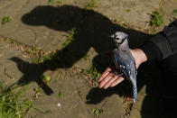 Princeton University graduate student Severine Hex holds a female blue jay in her open hand to release it Saturday, April 24, 2021, in Silver Spring, Md. Hex gently removed the blue jay from a mist net used to capture birds for banding or other research projects. (AP Photo/Carolyn Kaster)