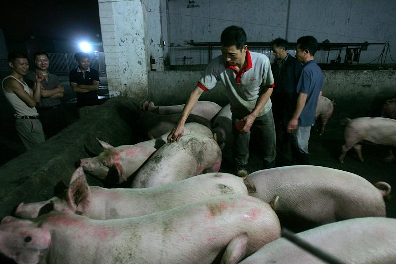 CHENGDU, CHINA - JULY 26: (CHINA OUT) A worker inspects pigs at a slaughterhouse on July 26, 2005 in Chengdu of Sichuan Province, southwest China. According to Sichuan Provincial Health Bureau, the death toll in Sichuan Province's strange disease has risen to 24 with 21 in critical condition. Totally 117 cases are reported in Ziyang and neighboring Neijiang Cities until noon of July 26. The Ministry of Health said on July 25 that the disease was caused by Streptococcus suis, a bacteria carried by pigs. An initial 20 farm workers who handled sick or dead pigs and sheep in Jianyang, Yanjiang Counties of Ziyang, suffered from high fever, nausea, vomiting and haemorrhaging since June 24. Chinese authorities have halted exports of pork products from Ziyang and Neijiang Cities as a precautionary measure. (Photo by China Photos/Getty Images)