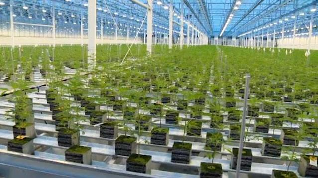 An interior shot of Aurora Cannabis near the Edmonton International Airport. (Provided)