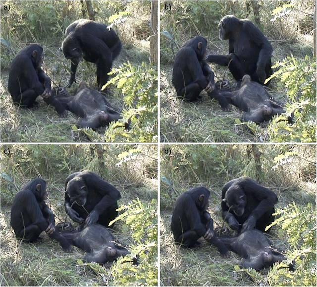 Chimp death ritual