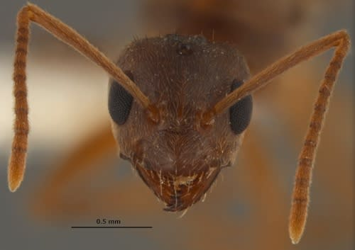 Nylanderia fulva, also known as the tawny crazy ant, hails from northern Argentina and southern Brazil.