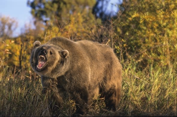 Man attacked by grizzly bear shot by friend trying to save him