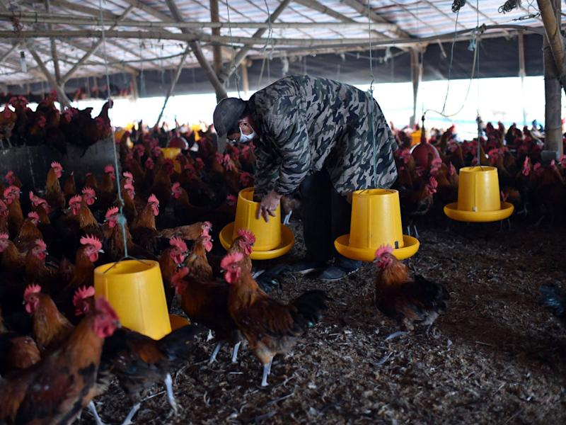A worker cleans a feeding trough at a poultry farm in Hefei, eastern China's Anhui province