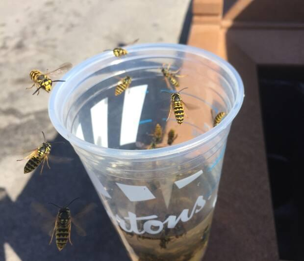 A little bit of food or drink can attract a lot of wasps this time of year. (Holly Caruk/CBC - image credit)