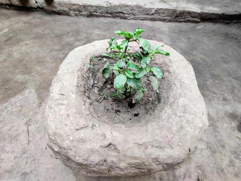 This Tulsi plant was planted by Khushi in the home a few years ago. Today it stands as a brutal reminder to her end.