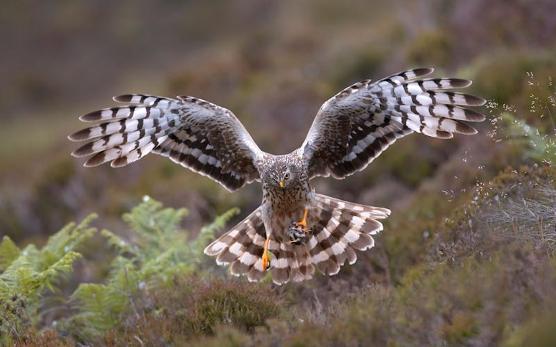 hen harrier - Credit: Alamy