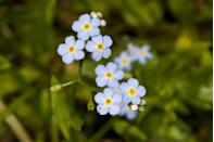 """<p>No one could ever forget a flower as beautiful as the forget-me-not, which <a href=""""https://statesymbolsusa.org/symbol/alaska/state-flower/alpine-forget-me-not"""" rel=""""nofollow noopener"""" target=""""_blank"""" data-ylk=""""slk:Alaska"""" class=""""link rapid-noclick-resp"""">Alaska</a> adopted as its state flower in 1907.</p>"""