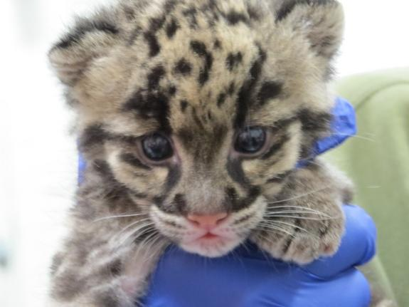 rare clouded leopard cub welcomed to denver zoo
