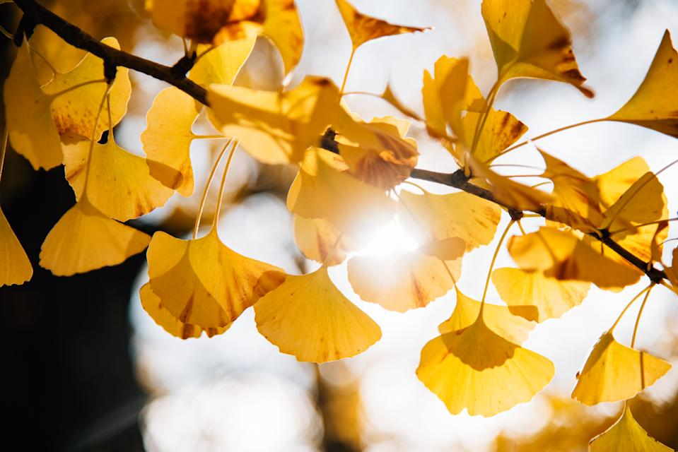 Sun flare through yellow autumn ginkgo leaves
