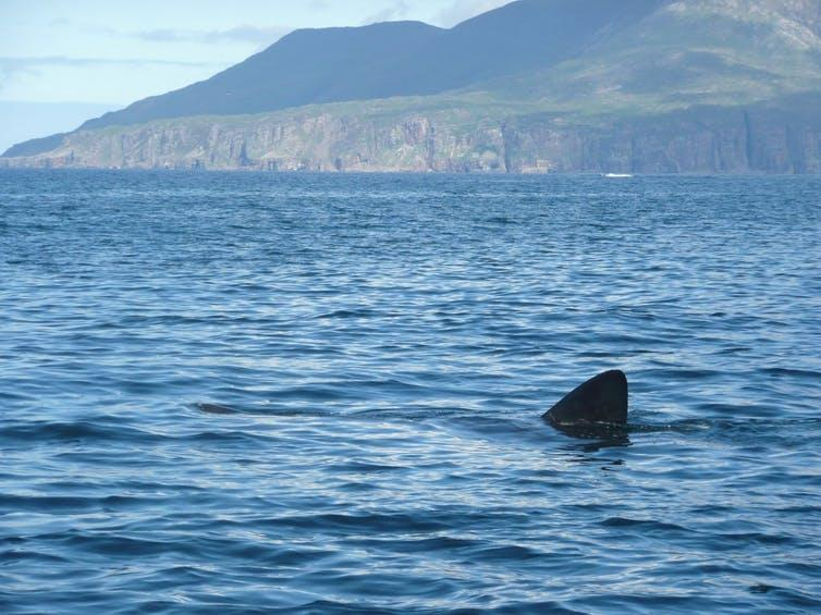 The dorsal fin of a basking shark breaking the surface of the sea.