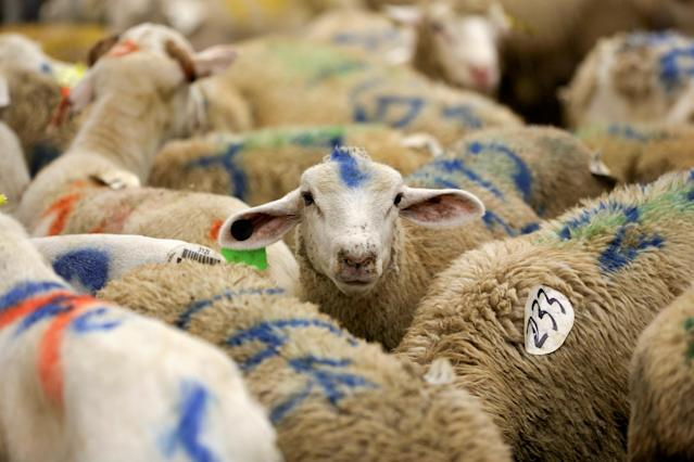 <p>Sheep are photographed at a halal butchery ahead of their sacrificial slaughter on Eid al-Adha in Brooklyn, New York, Sept. 1, 2017. (Photo: Amr Alfiky/Reuters) </p>