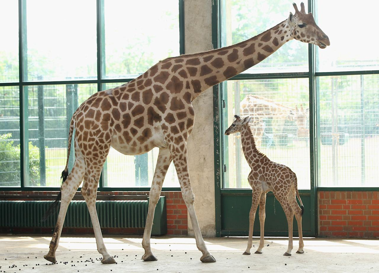 BERLIN, GERMANY - JUNE 29:  Jule, a baby Rothschild giraffe, stands next to her mother in her enclosure at Tierpark Berlin zoo on June 29, 2012 in Berlin, Germany. Jule was born at the zoo on June 10.  (Photo by Sean Gallup/Getty Images)