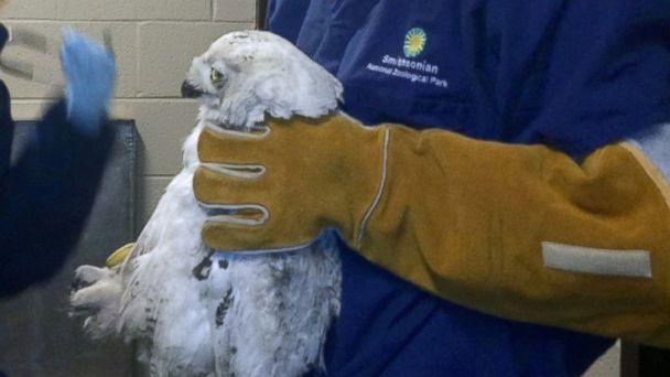 HT smithsonian snowy owk tk 140130 16x9 608 Rare Snowy Owl Struck By Bus in Washington, D.C.