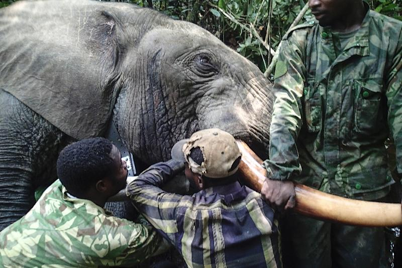 Gabon's national parks agency is bringing hi-tech to the equatorial forests of central Africa in a bid to save thousands of elephants from well-drilled and armed poachers (AFP Photo/STRINGER)