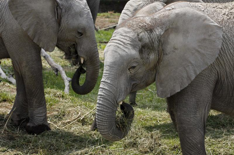 "In this photo taken Friday, June 8, 2012, ""sub-adults"" African elephants eat hay at their new habitat of the Africam Safari wildlife preserve, near Puebla, Mexico. The nine elephants from Namibia needed a new home and the owner of a 900-acre wildlife preserve in central Mexico jumped at the chance to buy them and add them to his menagerie that includes ostriches, lemurs, giraffes, zebras and monkeys. (AP Photo/Andres Leighton)"