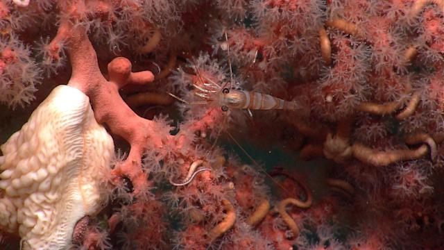 <p>Red coral in Lydonia Canyon. (Photo: NOAA Okeanos Explorer Program, 2013 Northeast U.S. Canyons Expedition) </p>