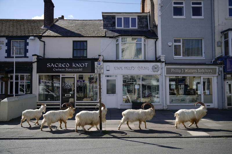 LLANDUDNO, WALES - March 31: Mountain goats roam the deserted streets of LLandudno. A local politician said the herd was drawn to town by the lack of people and tourists due to the COVID-19 outbreak and quarantine measures. (Photo by Christopher Furlong/Getty Images)
