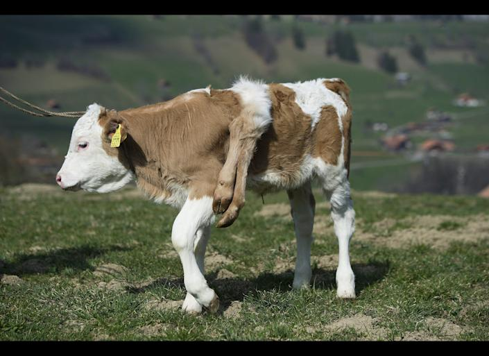 """Six-legged calf """"Lilli"""" stands on the pasture of its owner Andreas Knutti, in Weissenburg, Switzerland, Thursday, March 29, 2012. The calf was born seven weeks ago with two additional legs on its back. (Peter Schneider, Keystone / AP)"""