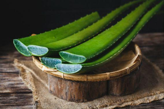 <p>For a moisturiser that doesn't leave a greasy film on your face, look no further than Aloe Vera. It softens the skin without clogging pores. Aloe vera helps in preventing early signs of aging. Because of its abilities to speeds up skin cell reproduction, fight inflammation and reduce redness, Aloe Vera is a great natural treatment for acne scars and stretch marks. </p>