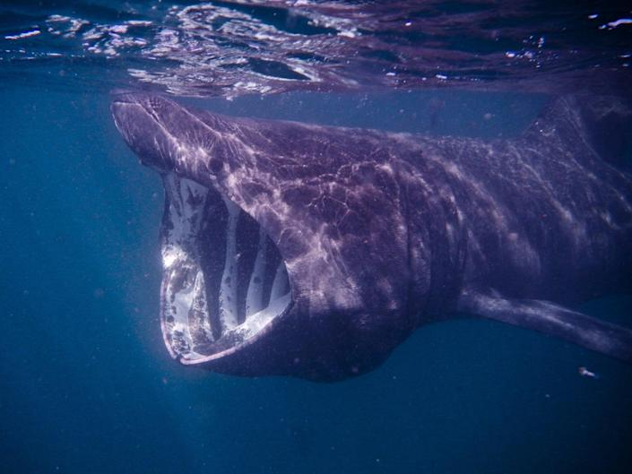 Conservationists in Ireland are calling for laws to protect endangered basking sharks (Getty)