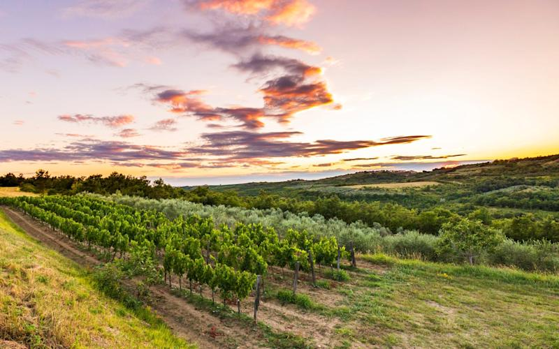 The Croatian vineyards of Istria - istock