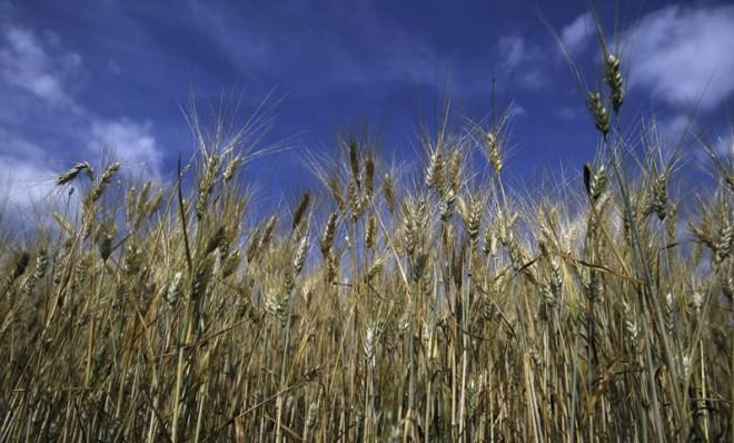 The FDA says genetically modified wheat is safe to eat. Others beg to differ.