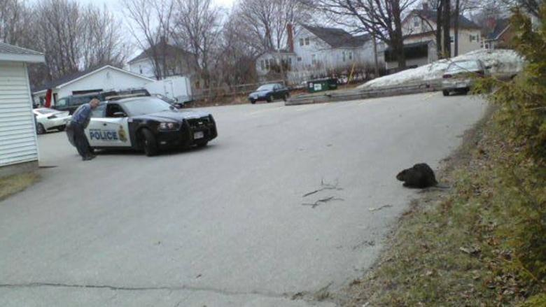 Jim O'Neill took this picture of an angry beaver was roaming around Miramichi on Tuesday.