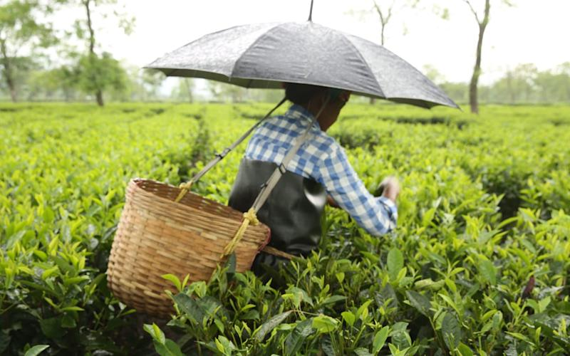 A woman plucking tea leaves at a plantation India - PA