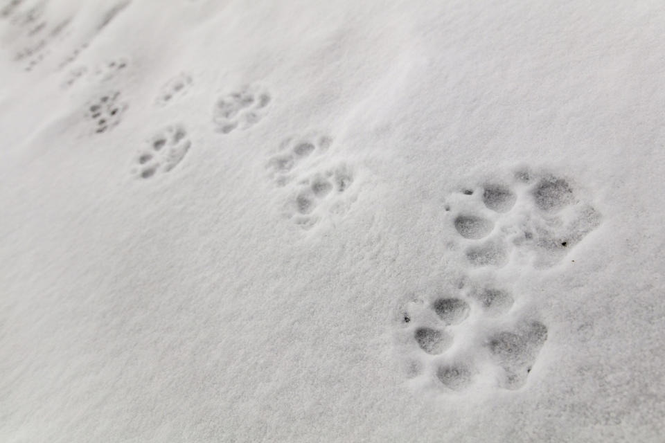 This Jan. 7, 2018, photo released by the National Park Service shows wolf tracks on Fountain Freight road in Yellowstone National Park, Wyo. Wolves have repopulated the mountains and forests of the American West with remarkable speed since their reintroduction 25 years ago, expanding to more than 300 packs in six states. (Jacob W. Frank/National Park Service via AP)